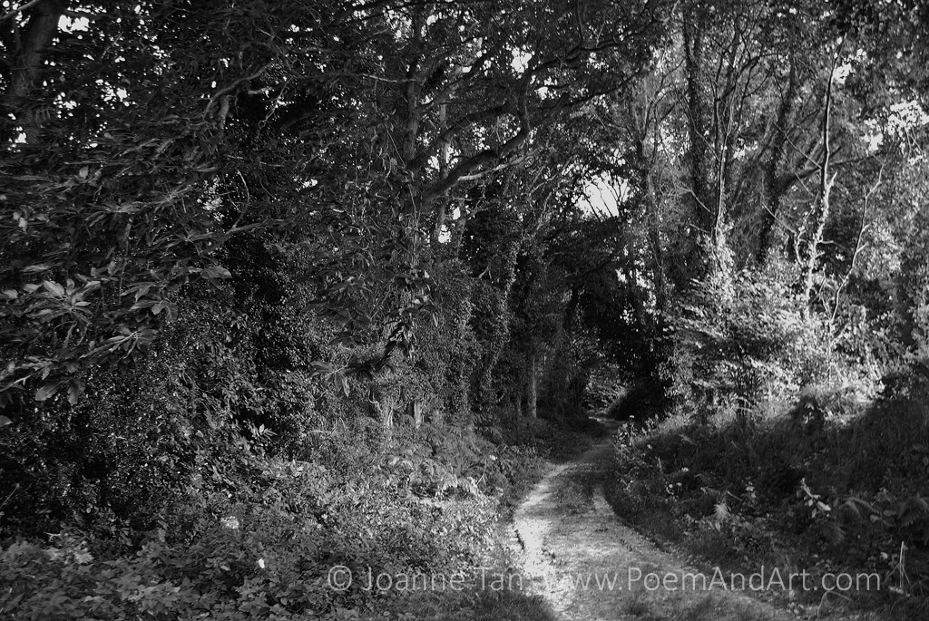 P-Trees - Forest - A Path in Woods - b&w