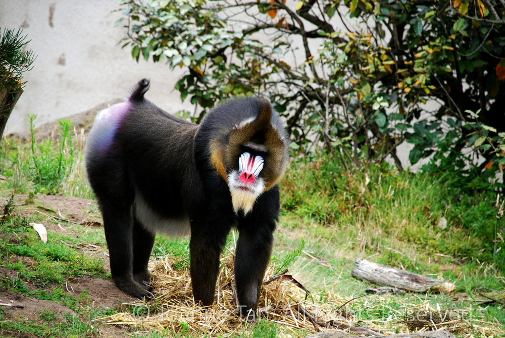 p - Animals - A Mandrill of Bright Colored Face & Rear