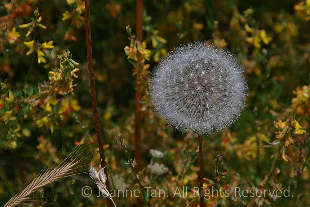 p - flowers - plants - A Fully Bloomed Dandelion