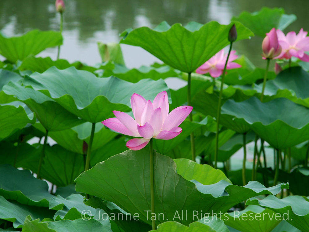 Fresh green lotus leaves and delicate pink lotus flowers and buds, one fully open, above water.