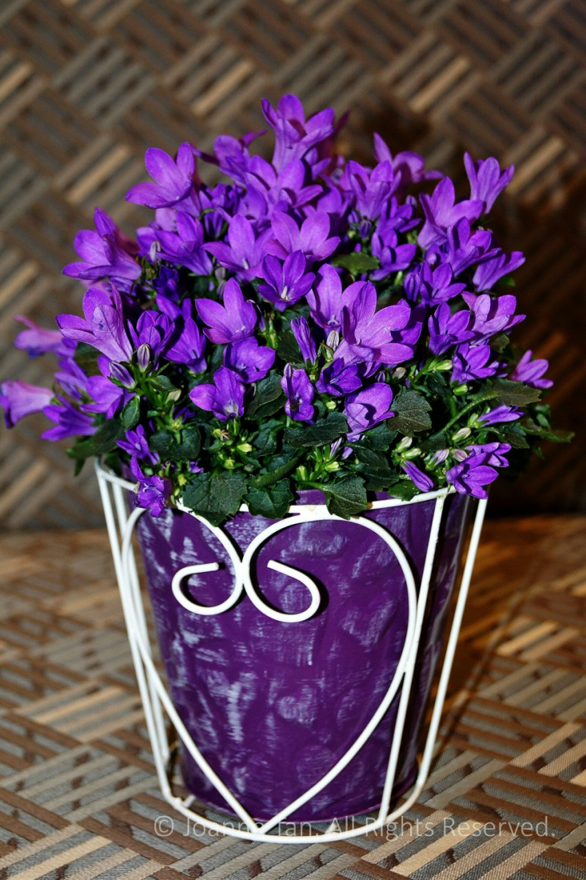 p - flowers - plants - Purple Little Flowers in a Heart Shaped Pot
