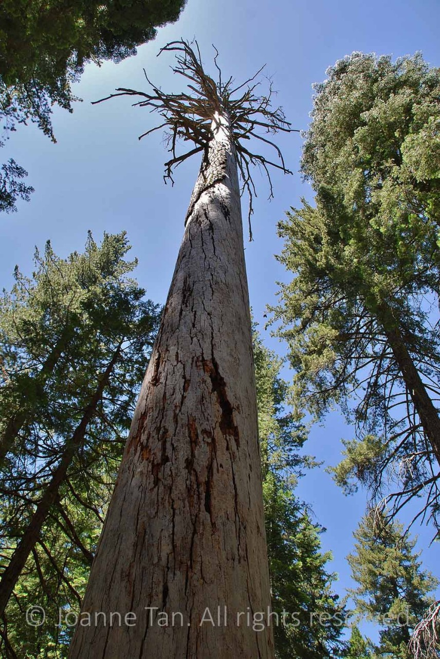 p - trees - Forest - Spirit of a Dead Tree - Straight Up To the Sky - Yosemite, CA